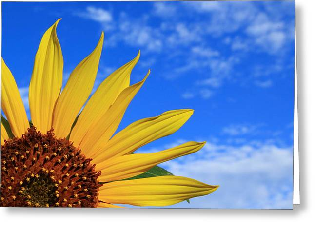 Wild Sunflower Greeting Card by Shane Bechler
