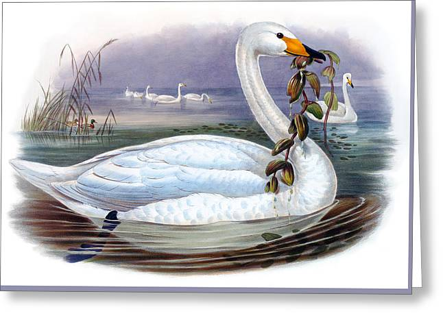 Wild Swan Antique Bird Print The Birds Of Great Britain Greeting Card by Orchard Arts