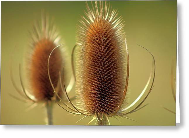 Wild Teasel Greeting Card