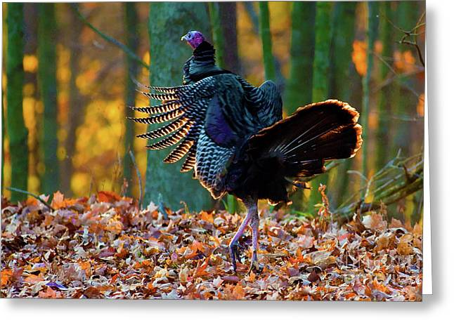 Alan Look Greeting Cards - Wild Turkey struttin Greeting Card by Alan Look