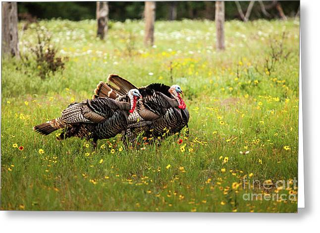 Wild Turkey's Dance Greeting Card by Iris Greenwell