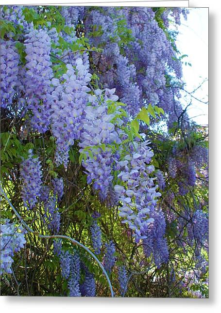 Wild Visteria In Nc Greeting Card