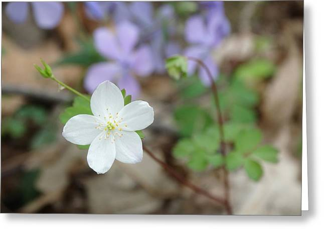 Wild Woodland Phlox Greeting Card by Rebecca Overton