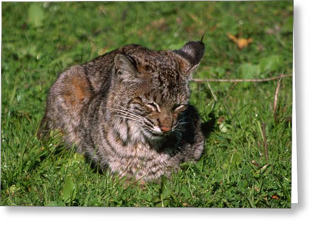 Wildcat Beach Greeting Card by Soli Deo Gloria Wilderness And Wildlife Photography