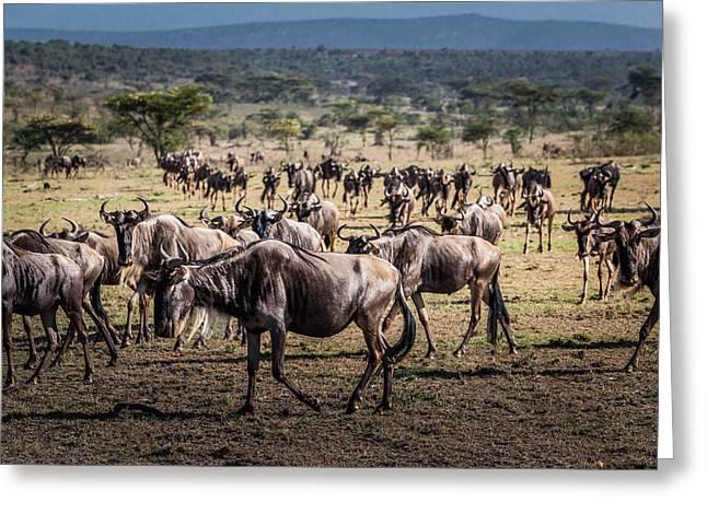 Wildebeest Herd Greeting Card