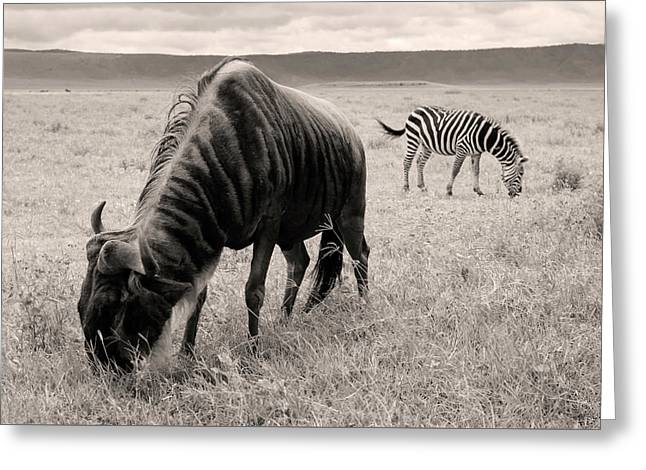 Wildebeest And Zebra Greeting Card