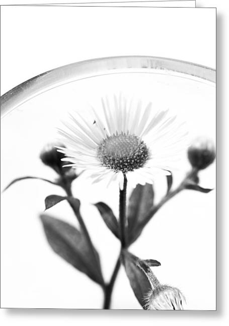 Wildflower In A Wine Glass Black And White Greeting Card