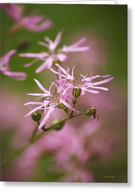 Wildflowers - Ragged Robin Greeting Card by Christina Rollo