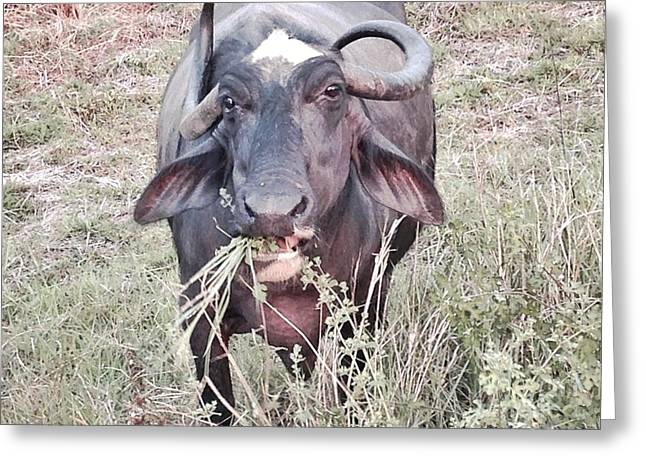 Wilds Of Buffalo Greeting Card