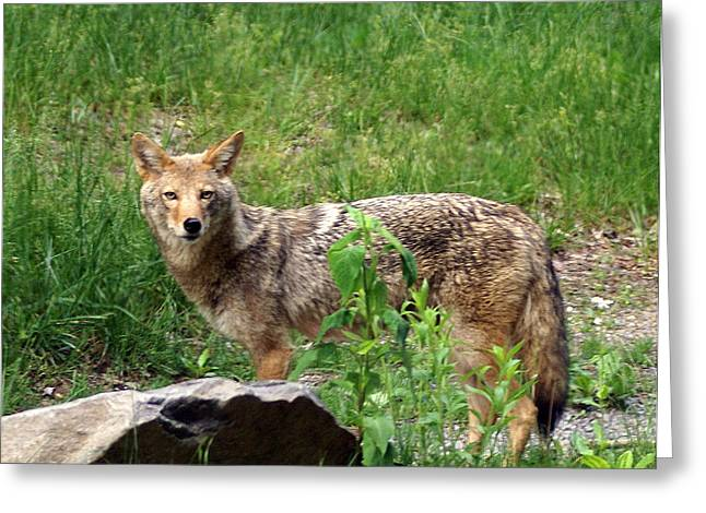 Wiley Coyote Greeting Card by Marty Koch