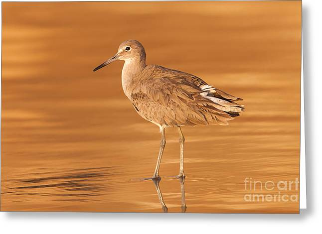 Willet Greeting Card by Clarence Holmes