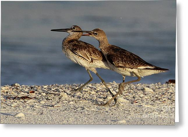 Willet Fight Greeting Card