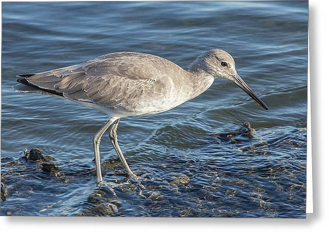 Willet In Winter Plumage Greeting Card