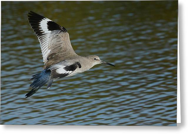 Willet On The Rise Greeting Card by Fraida Gutovich