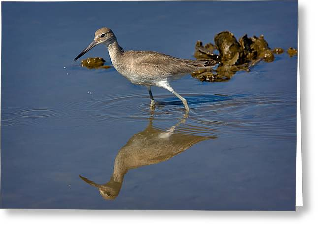 Willet Searching For Food In An Oyster Bed Greeting Card by Louise Heusinkveld