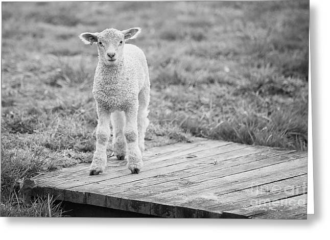 Williamsburg Lamb Greeting Card