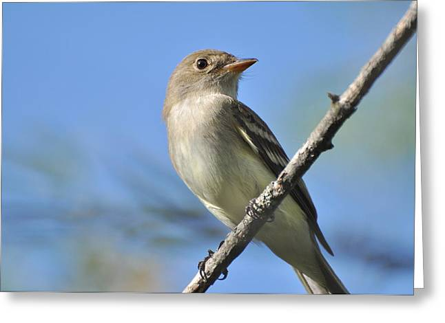 Willow Flycatcher 3 Greeting Card by Gerald Hiam