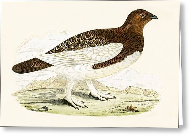 Willow Grouse Greeting Card by English School