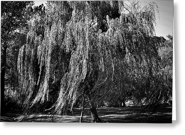 Willow In The Wind Bnw Greeting Card by Skip Willits