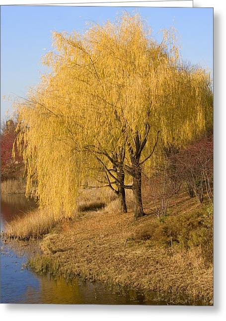 Willow Trees By The Lake Greeting Card by Elvira Butler