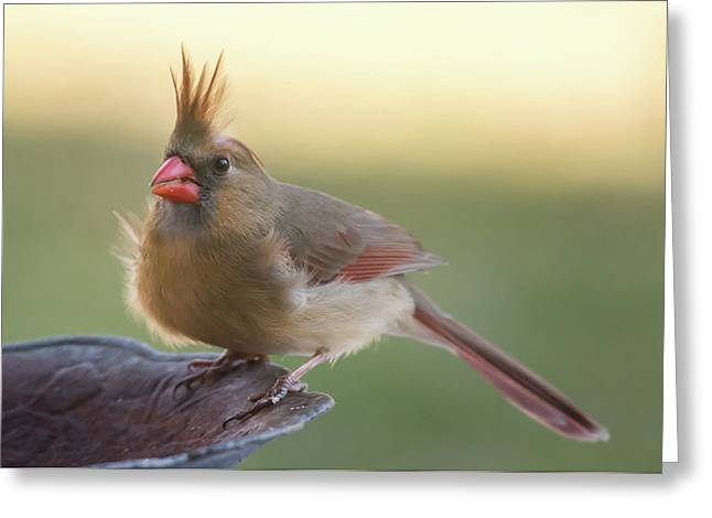 Greeting Card featuring the photograph Wind Blown Cardinal  by Terry DeLuco