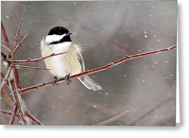 Windblown Chickadee Greeting Card