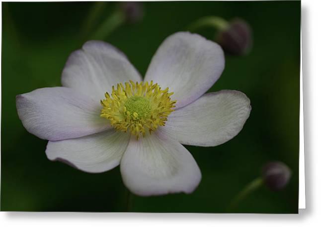 Windflower 2 Greeting Card by Denise McKay