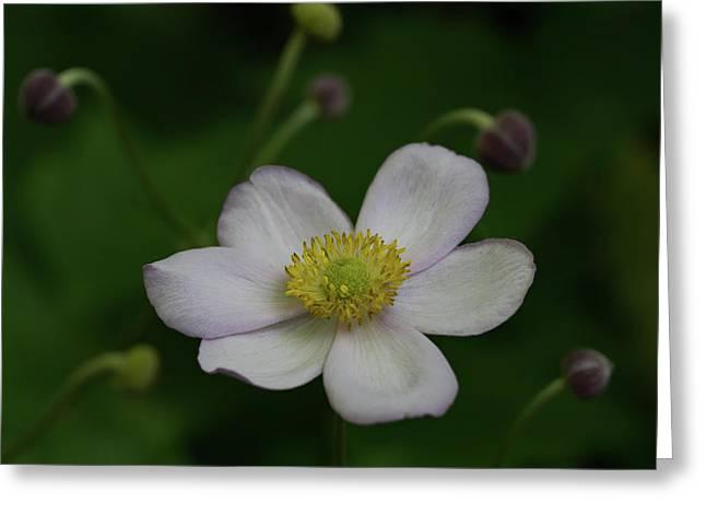 Windflower 1 Greeting Card by Denise McKay