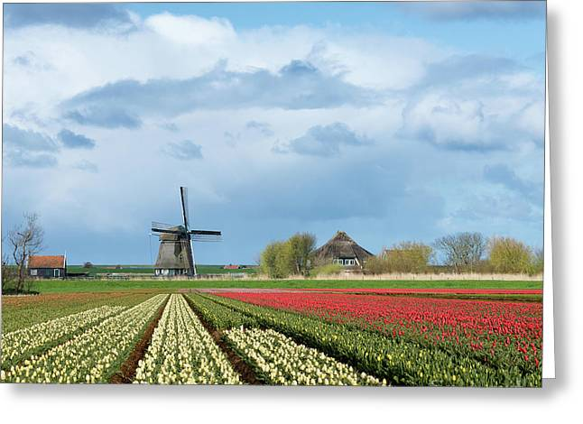 Greeting Card featuring the photograph Windmill With Tulip Flower Fields In The Countryside by IPics Photography