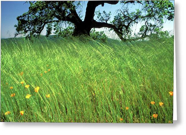 Windswept Poppies Greeting Card by Kathy Yates