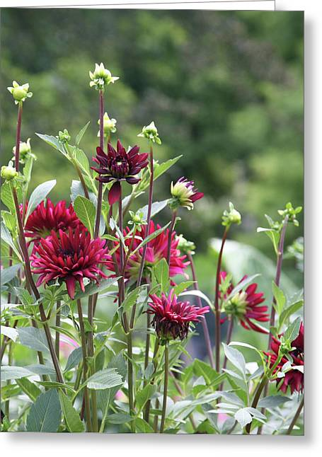Wine Colored Flowers Greeting Card by Deborah Molitoris