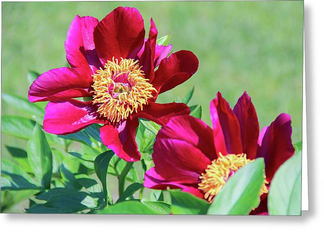 Wine - Coloured Peonies Greeting Card by Margo Cat Photos