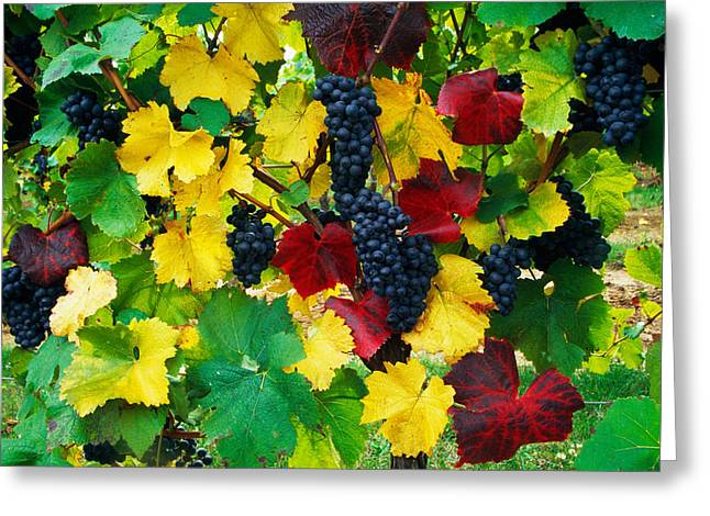 Wine Grapes On Vine, Autumn Color Greeting Card by Panoramic Images