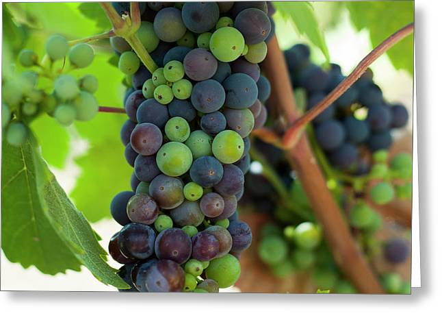 Wine Grapes Greeting Card by Sharon West
