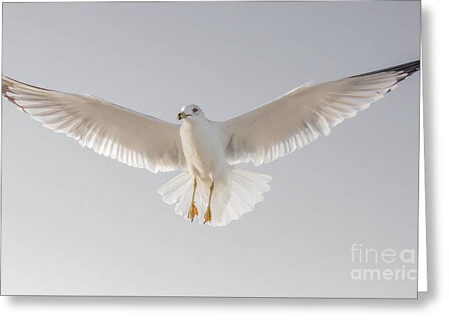Winged Messenger Greeting Card