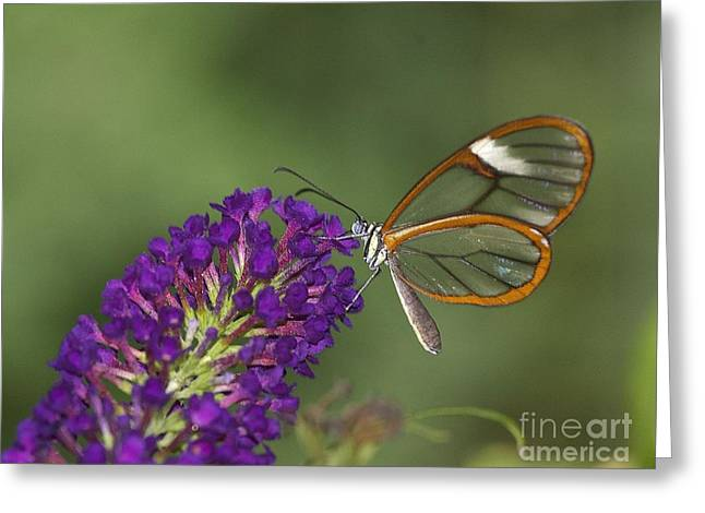 Wings Like Glass Greeting Card by Ruth Jolly