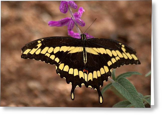 Wings Of A Giant Swallowtail Greeting Card