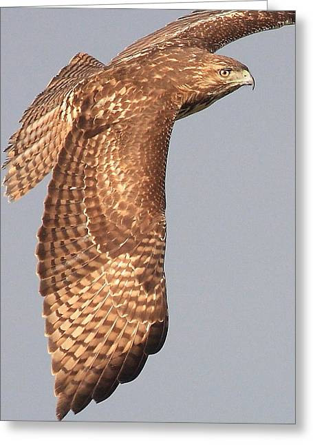 Wings Of A Red Tailed Hawk Greeting Card by Wingsdomain Art and Photography