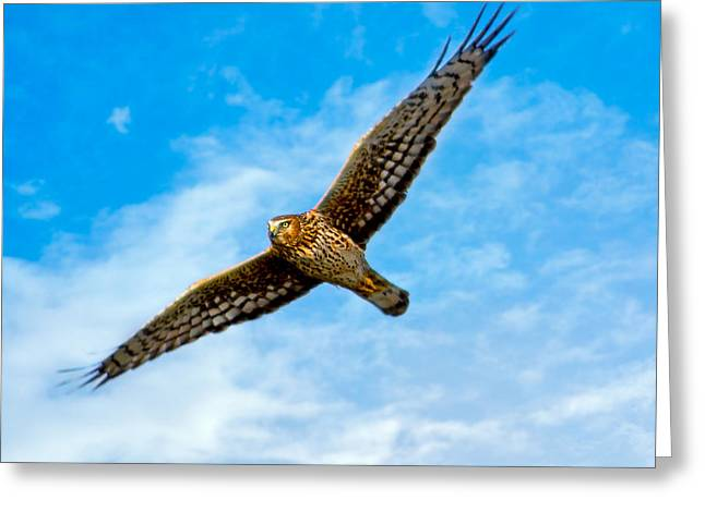 Wings Of The Northern Harrier Greeting Card