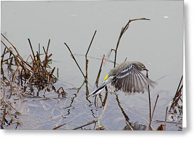 Wings Over Water Greeting Card by Nick Gustafson