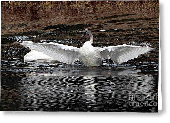 Wingspan Of A Trumpeter Swan Greeting Card by Sharon Talson