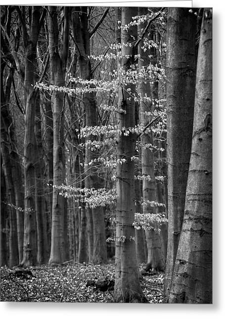 Winter Beech Greeting Card by Inge Riis McDonald