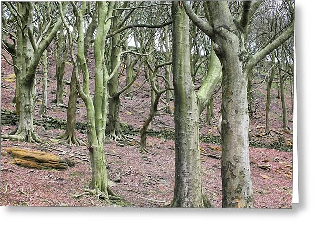 Winter Beech Woods Greeting Card by Philip Openshaw