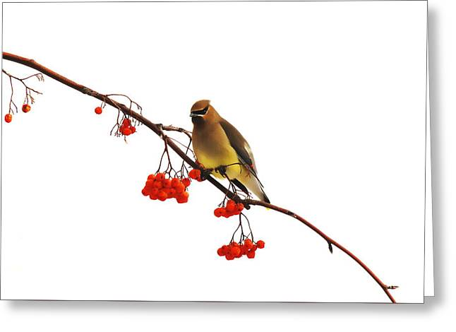 Winter Birds - Waxwing  Greeting Card