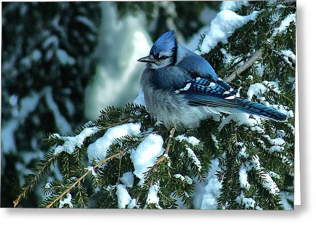 Winter Blue Jay Greeting Card by Andrew Oliver