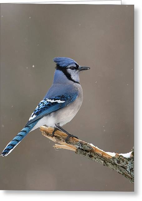 Winter Blue Jay Greeting Card by Timothy McIntyre