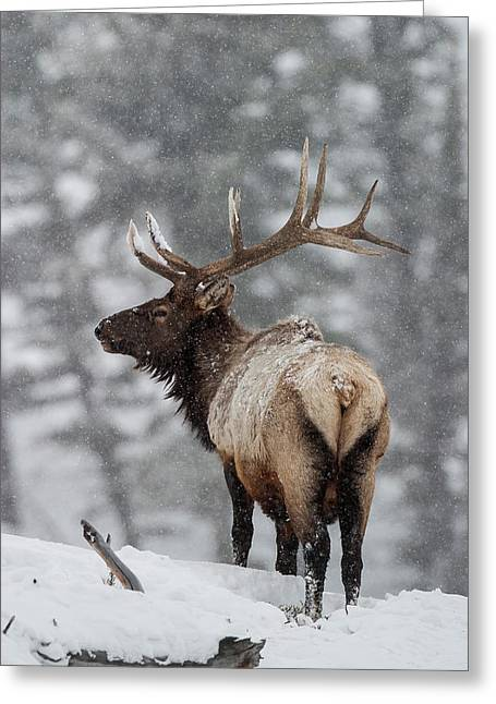 Winter Bull Elk Greeting Card