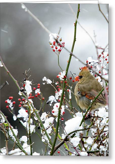 Winter Cardinal Greeting Card by Gary Wightman
