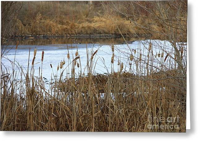 Winter Cattails  Greeting Card by Carol Groenen