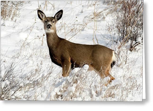 Winter Doe Greeting Card by Mike Dawson